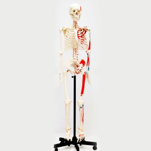 Esqueleto adulto muscular com base móvel