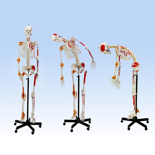 Esqueleto de 170 cm, com coluna flexível, ligamentos e inserções musculares