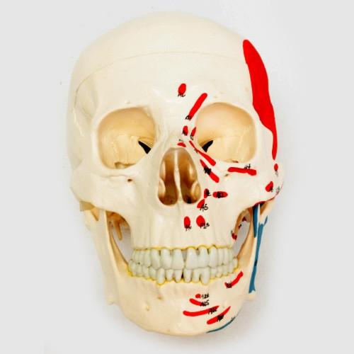 Esqueleto desarticulado completo pintado