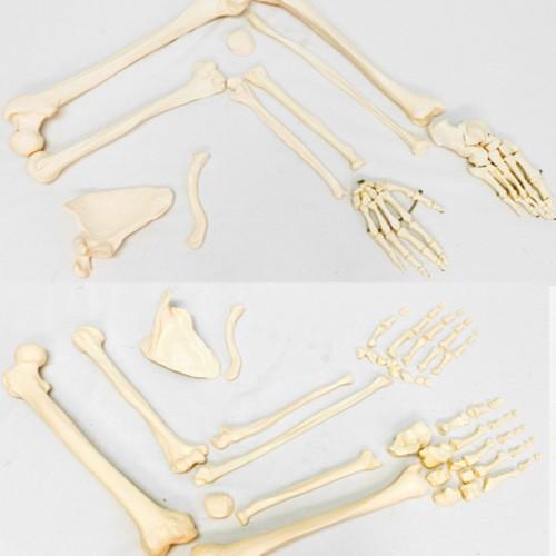Esqueleto padrão desarticulado tamanho natural