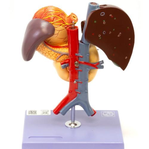 Estômago e órgãos associados do abdome superior
