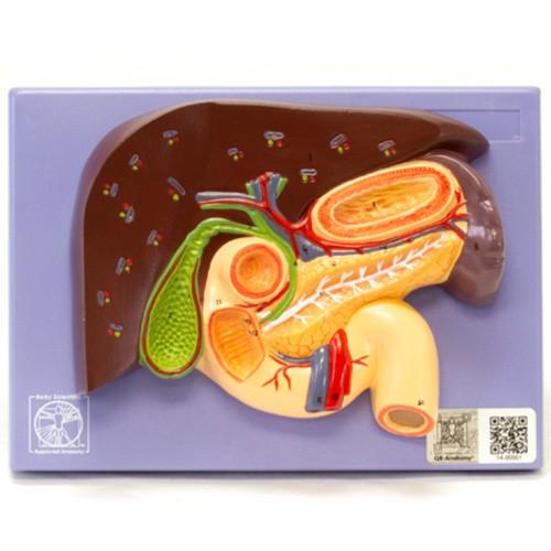 Fígado com vesícula biliar, pâncreas e duodeno