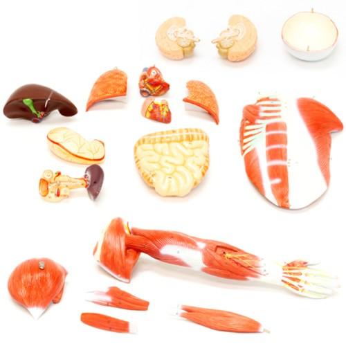 Figura muscular avançada em 30 partes