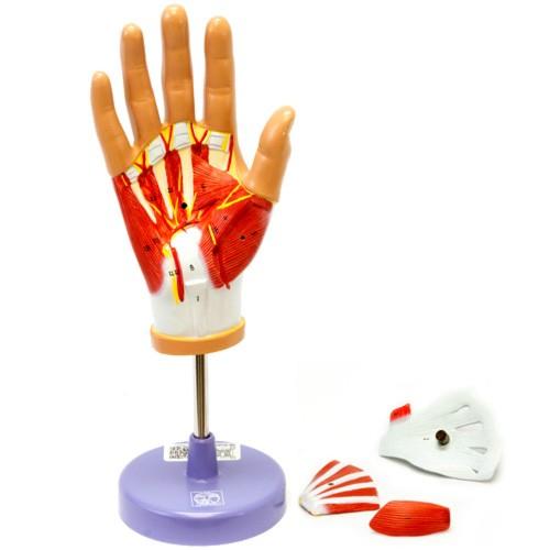 Mão musculada em 4 partes