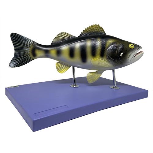 Modelo anatômico do peixe