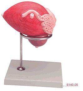 Modelo Anatômico de Bexiga Masculina com Próstata em 2 Partes