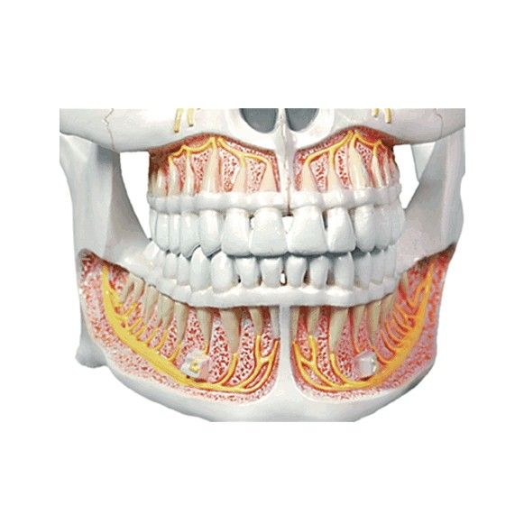 Modelo Anatômico de Dentição Adulta Permanente
