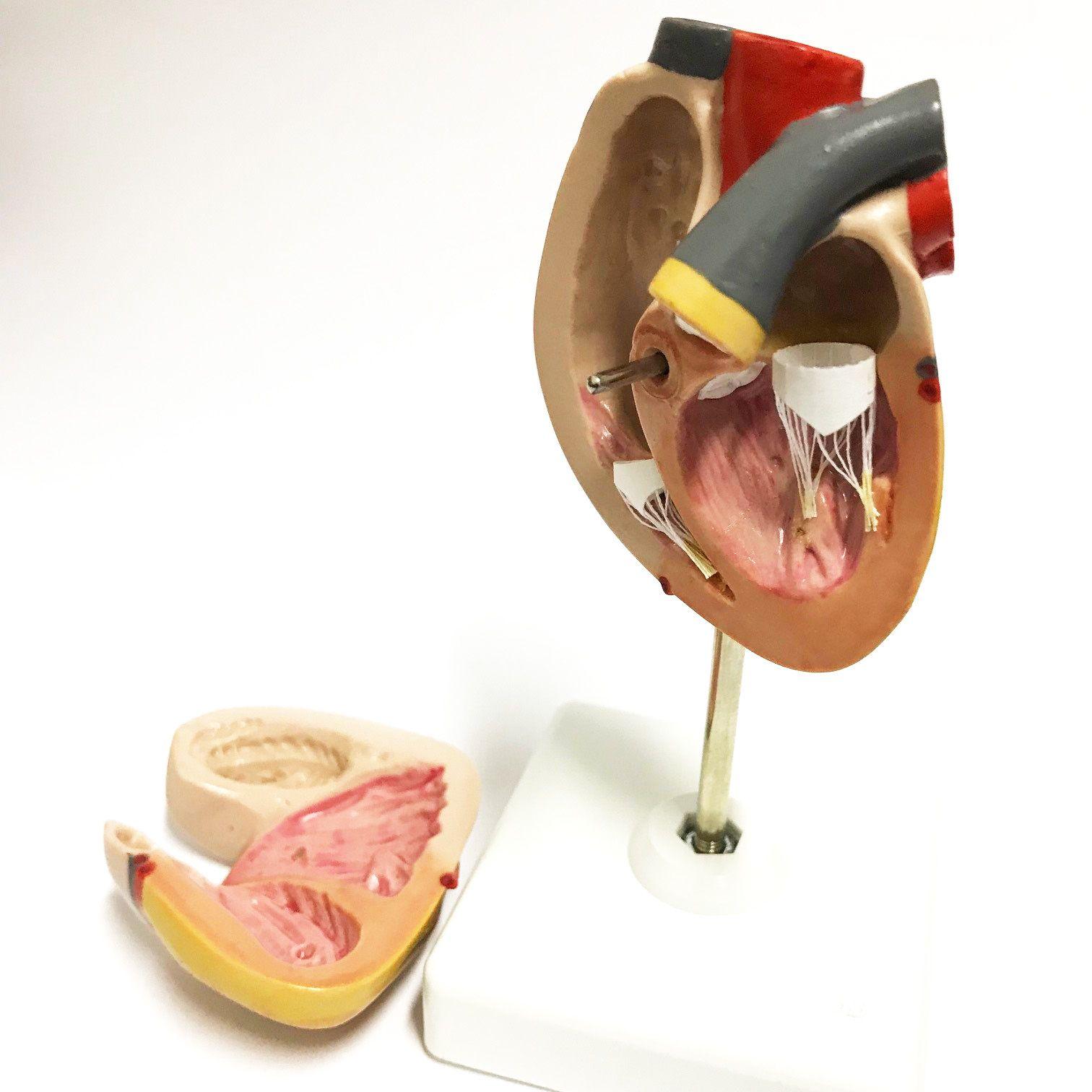 Modelo Anatômico de Mini Coração na Base
