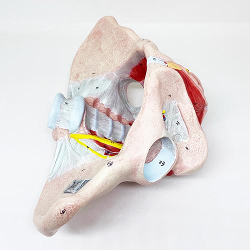 Modelo de músculo pélvico e ligamentos feminino