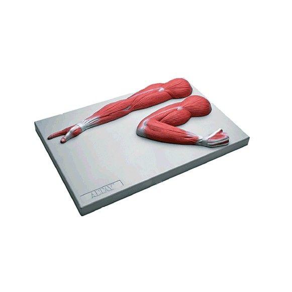 Modelo Anatômico de Músculos do Braço