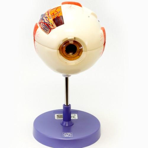 Modelo de olho em 6 partes