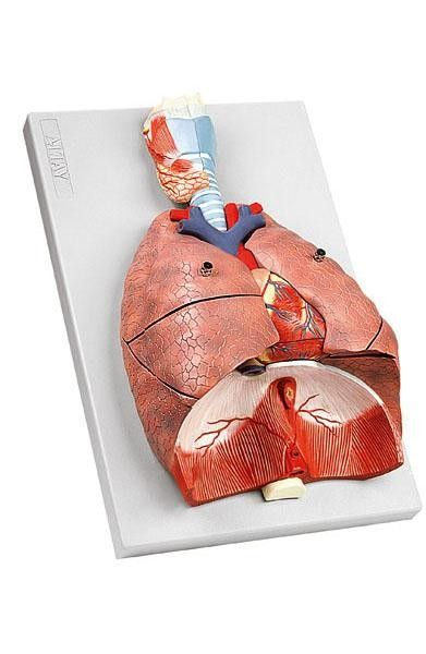 Modelo Anatômico de Pulmão - Sistema Respiratório em 7 Partes