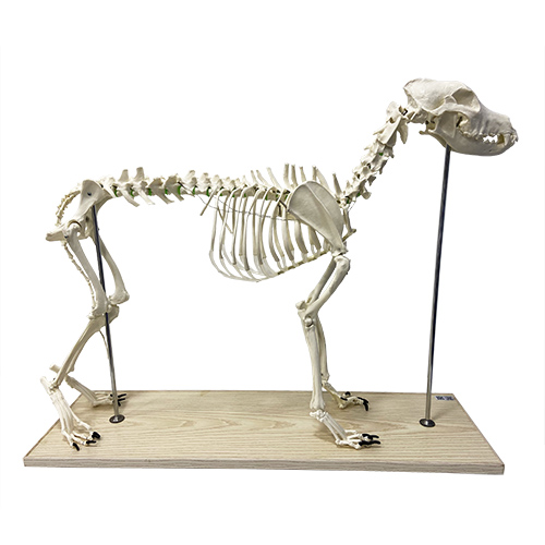 Modelo do esqueleto de um cachorro