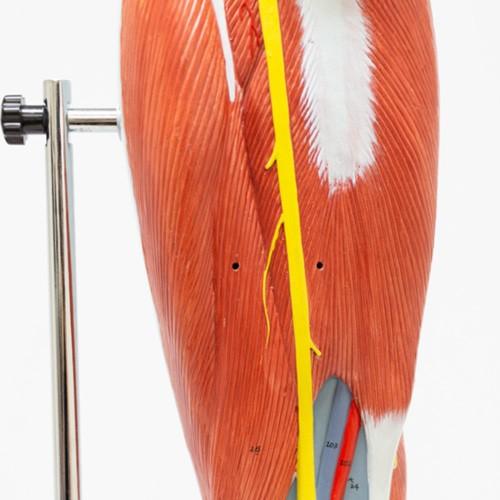 Perna musculada em 13 partes