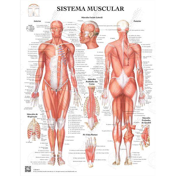 Pôster Sistema Muscular