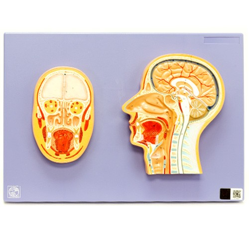 Sessão lateral e frontal da cabeça