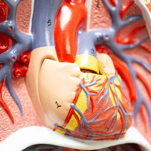 Sistema circulatório em 2 partes