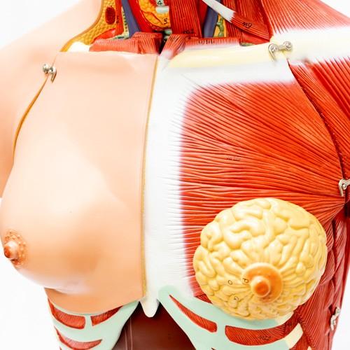 Torso bissexual com dorso aberto em 28 partes removíveis
