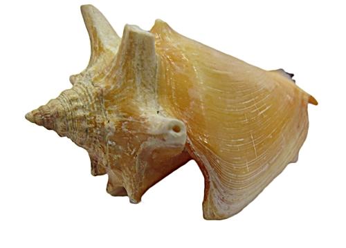 Concha do mar-1 peça-bzo006