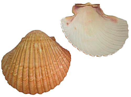 Concha do Mar Lyrop Shell G - CDM001