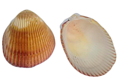 Concha do Mar-Lyrop Shell m-CDM003