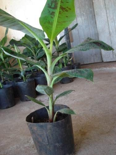 Muda de Banana Nanica- Bananeira