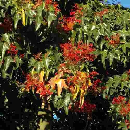 Muda Da Árvore Do Fogo - Brachychiton - Árvore Ornamental