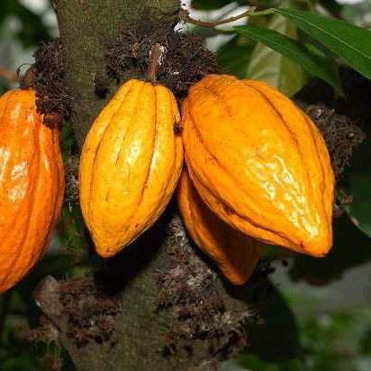 Muda De Cacau Gigante Anão - Theobroma Cacao