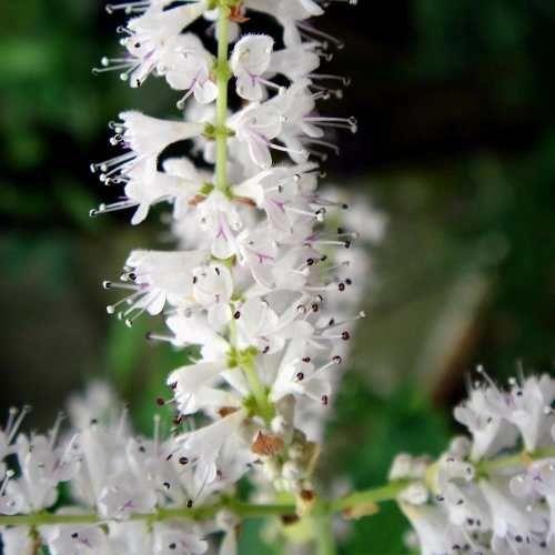 Muda De Mirra , Limonete Ou Limonela - Tetradenia Riparia