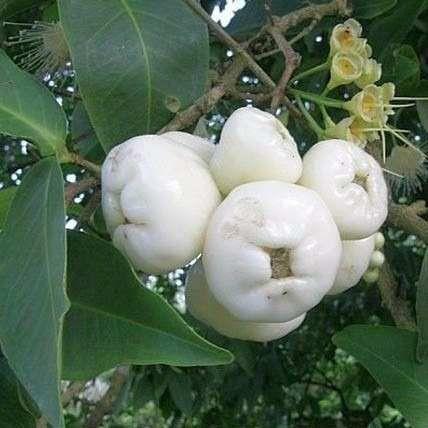 Muda De Jambo Branco - Produz Em 1 Ano - Fruta Muito Rara!