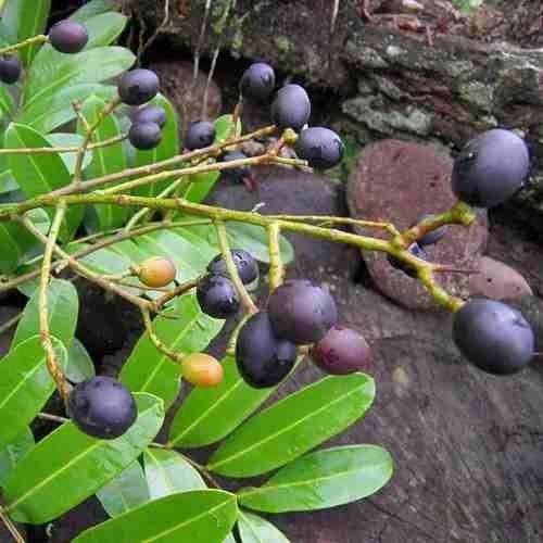 Muda De Marupá Do Amazonas - Planta Medicinal