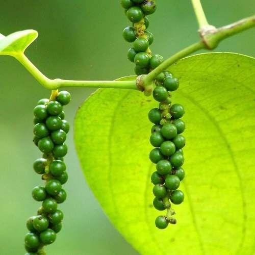 Muda De Pimenta Do Reino Cingapura - Clonadas - Para Vasos!