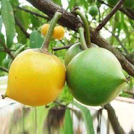Muda De Mangostão Amarelo Ou Falso Mangostão