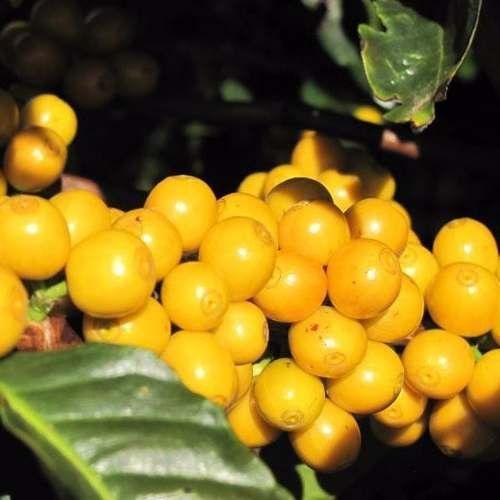Muda De Café Catuaí Amarelo