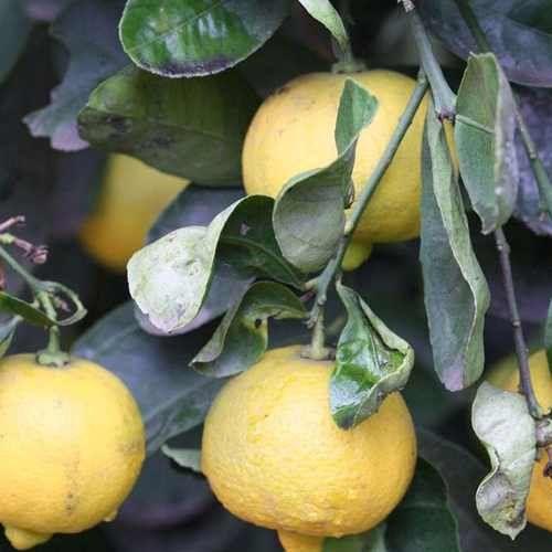 Muda De Limão Doce - Citrus Limetta