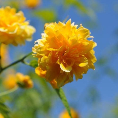 Muda de Rosa ou Rosinha do Japão - Kerria Japonica