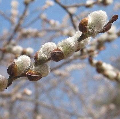 Muda de Salix de Pompom Branco - Salix Discolor