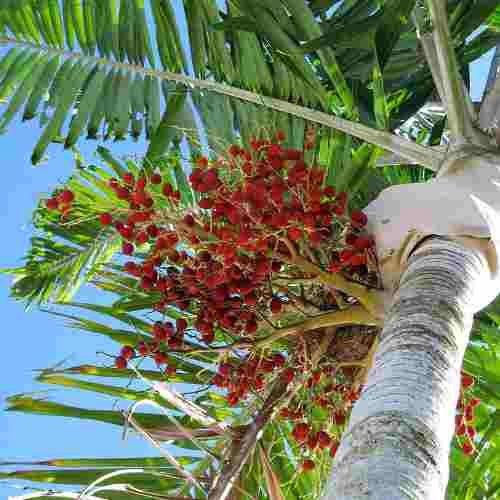 Muda de Palmeira Carpentária Acuminata