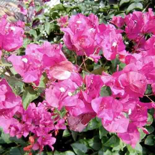 Muda de Primavera Rosa Dobrada - Bouganville