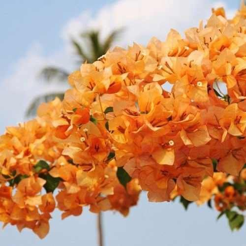 Muda de Primavera Telha ou Tijolo - Bouganville