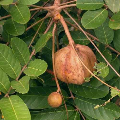 Muda De Andiroba - Carapa Guianensis