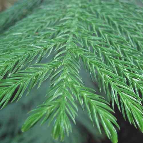 Muda Pequena de Pinheiro Norfolk - Pinheiro de Natal