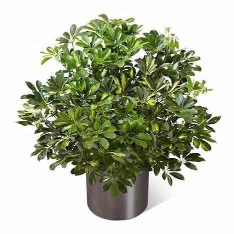 Muda De Cheflera Verde - Árvore Guarda-chuva - Schefflera Arboricola