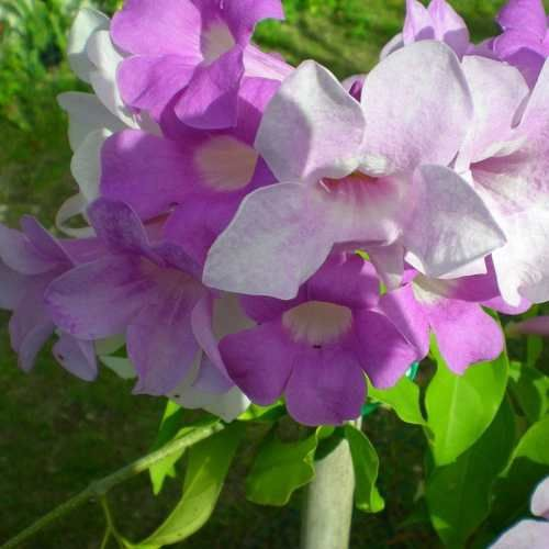 Muda De Cipó Alho - Flor Trepadeira - Mansoa Alliacea