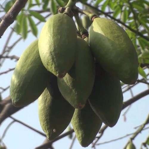 Mudas De Sumauma Ou Mafumeira - Kapok Tree
