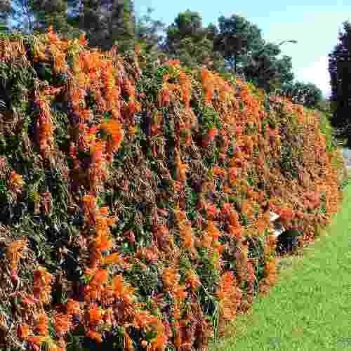 Muda de Flor de São João Laranja - Estaquia - Florem no primeiro ano