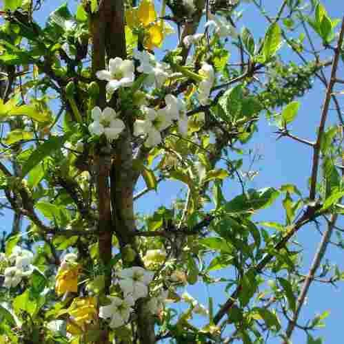 Muda de Limãozinho do Mato - Bacupari Bravo
