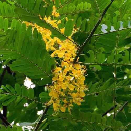 Muda De Chuva De Ouro Brasileira - Cassia Ferruginea
