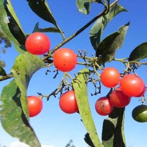 Muda de Porangaba ou Chá de Bugre - Cordia salicifolia
