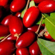 Muda da Fruta Do Milagre - Miracle Fruit - Produz Em 2 anos